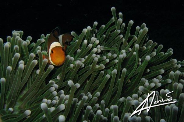 Anemone Fish at Phuket Anemone Reef