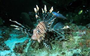 Lion Fish at Racha Island