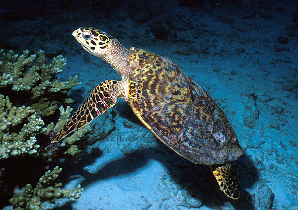 Sea Turtle blue water
