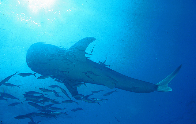 Whale Shark at Richelieu