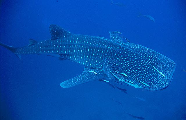 Whale Shark – Marine Life in Thailand
